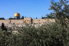 Gethsemane olive trees and the walls of Jerusalem. Gethsemane olive trees and the Dome of the Rock behind the walls of Jerusalem Royalty Free Stock Photos