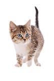 Getigerte Katze und weißes Kätzchen Stockbild