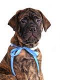 Getijgerd Bullmastiff puppyportret stock afbeeldingen