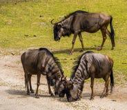 Getijgerd GNU-paar zich en één GNU op de achtergrond, tropische veespecie die van Afrika verenigen stock foto's