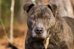 Getijgerde Pitbull Terrier met grijze snuit royalty-vrije stock afbeeldingen