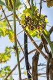 Getingar och bin som äter druvor Royaltyfri Fotografi