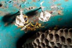 Getingar och honungskaka Arkivbilder