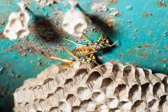Getingar och honungskaka Arkivfoton