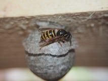 Getingen bygger ett farligt kryp f?r sf?riskt rede royaltyfri bild