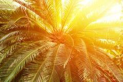 Getonte Palme mit Sonne, tropischer Hintergrund der Natur stockfotos