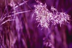 Getonte violette Ohren im Gras, Sommermorgen Konzept von Frische und von Neuheit, Natur, ewiger Frühling, umweltsmäßig stockbilder
