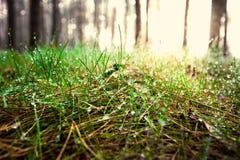 Getonter Schuss des grünen Grases bedeckt durch Tau am sonnigen Tag im Wald Stockbilder