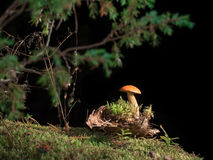 Getontes Bild eines einzigen Pilzes, der im Moos nahe der Barke vor dem hintergrund der Niederlassungen wächst Lizenzfreies Stockfoto