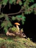 Getontes Bild eines einzigen Pilzes, der im Moos nahe der Barke vor dem hintergrund der Niederlassungen wächst Stockbild
