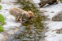 Getränke eines junge Berberaffen vom Fluss lizenzfreies stockbild