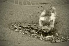 Getränke eines obdachlose Kätzchens von einer Pfütze Lizenzfreies Stockfoto