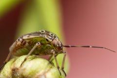 Getrübte Blattwanze auf grünem Blumen-Stamm lizenzfreie stockfotos