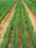 Getreide Stockfoto