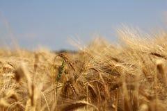 Getreide Lizenzfreie Stockfotografie