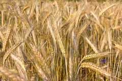 Getreide-Anlagen, Rye Lizenzfreie Stockbilder