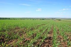 Getreide auf dem Gebiet Lizenzfreie Stockfotos
