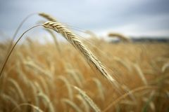 Getreide auf dem Gebiet Lizenzfreies Stockfoto