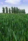 Getreide auf dem Gebiet Stockfotografie