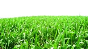 Getreide auf dem Land Stockbild