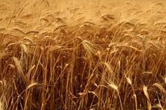 Getreide betriebsbereit zur Ernte Stockfotos