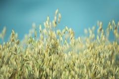 Getreide der Hafer stockfotos