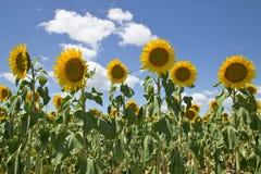 Getreide der Sonnenblumen Lizenzfreies Stockfoto