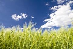Getreide des Roggens Stockbilder