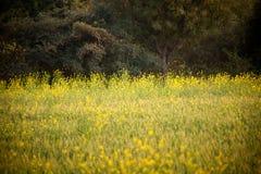 Getreide des Senfstartwertes für zufallsgenerator in Indien Lizenzfreie Stockfotografie
