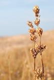 Getreide des trockenen Getreides Lizenzfreies Stockfoto