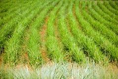 Getreide-Detail Lizenzfreies Stockbild