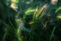 Getreide-Ernte-Ohren mit vibrierendem grüne Farbgras-Abschluss herauf das Foto gemacht auf Sommer Sunny Day Lizenzfreies Stockfoto