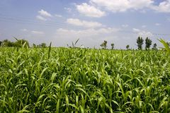 Getreide-Felder Stockfotos