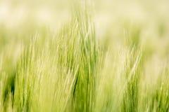 Getreide im Detail stockbilder