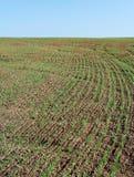 Getreide wachsen. Stockfotografie