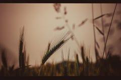 Getreideanbau in einer Wiese Große Unschärfe des Hintergrundes, eine kleine Schärfentiefe, der Abend, gegen das Licht E Lizenzfreies Stockbild