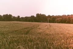 Getreideanbau in einer Wiese Große Unschärfe des Hintergrundes, eine kleine Schärfentiefe, der Abend, gegen das Licht E Stockfotos