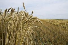 Getreideernte Lizenzfreie Stockfotografie
