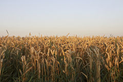 Getreideernte Stockfotos