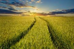 Getreideernte auf dem Gebiet auf dem aufgehende Sonne-Hintergrund Lizenzfreies Stockbild