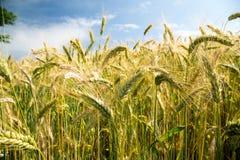 Getreideernten in Wales Großbritannien Stockbild