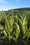 Getreidefeld Stockfoto