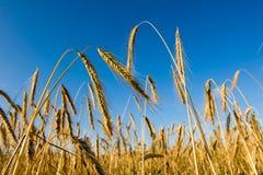 Getreidefeld Lizenzfreies Stockfoto