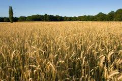 Getreidefeld Lizenzfreie Stockfotos
