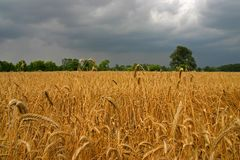 Getreidefeld Stockfotografie
