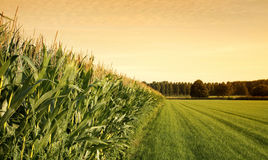 Getreidefeld bei Sonnenuntergang Lizenzfreies Stockbild