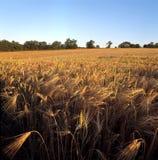 Getreidefeld in der Abendleuchte Stockfotos