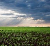 Getreidefeld in der Ebene nach dem Regen Lizenzfreies Stockfoto