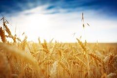 Getreidefeld gegen einen blauen Himmel Lizenzfreie Stockfotos