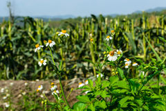 Getreidefeld hinter den Bergen am Abend mit weißer Blume lizenzfreie stockfotografie